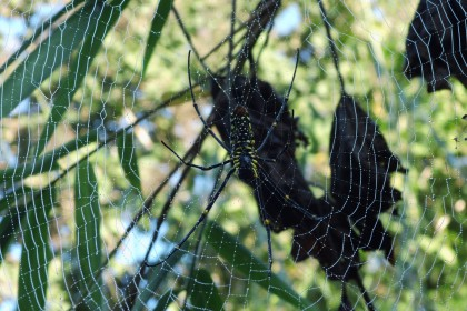 Eine grosse Spinne