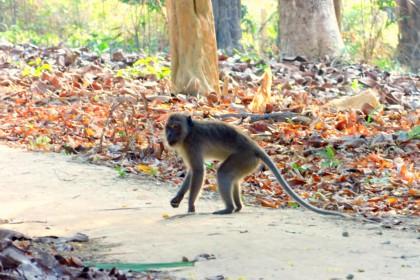 Koh Phayam monkey